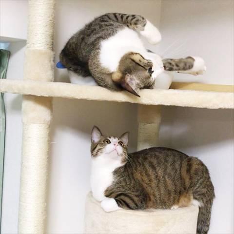 Amebaブログ「猫のすずめちゃん」からキャットタワーで遊ぶすずめちゃん(上)、うなぎちゃん(下)